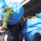 Some of the thousands of marijuana plants confiscated in Samoa late last week.
