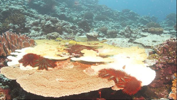 Alamea (crown of thorns starfish) on a coral reef in American Samoa.  [photo: National Park Service of American Samoa]