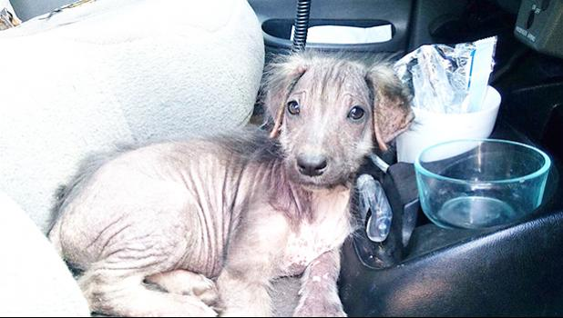 Seen in this photo is Bunny that came to the Vet Clinic as a puppy and had lost all of her hair. She was found on the side of the road.  See the next photo go see how she was helped. [photo: courtesy of the Vet Clinic of Am. Samoa]