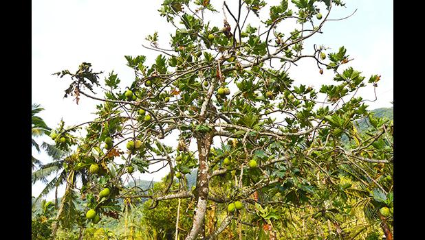 A breadfruit tree standing with a lot of damage to its fruit and leaves caused by Tropical Storm Gita last weekend. Concerns about food security have caused the Department of Agriculture to put two teams on the ground to do assessments about crop damages from the storm. [photo by AF]