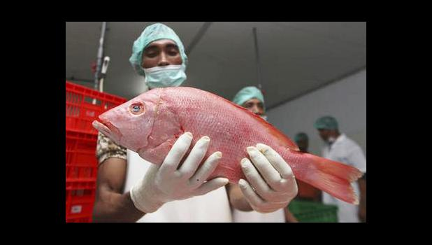 In this Wednesday, Sep. 9, 2015 photo, a worker shows a newly landed fish before it's given a barcode at a port facility in Benoa, Bali, Indonesia. The bar-code system will give each fish a tag that can provide details about the location it was caught, by what boat, its species, and weight and could easily be expanded to include crews on individual boats to help fight against labor abuse. (AP Photo/Firdia Lisnawati)