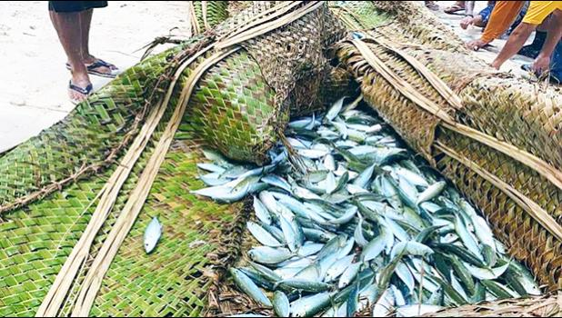 Akule fish during a recent harvest by residents of Olosega in Manu'a.