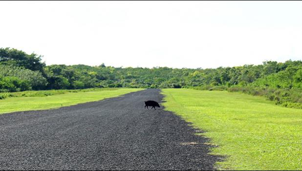 A pig crosses the tarmac at Asau airfield