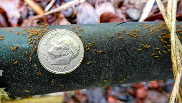 fire ants compared to the size of a dime