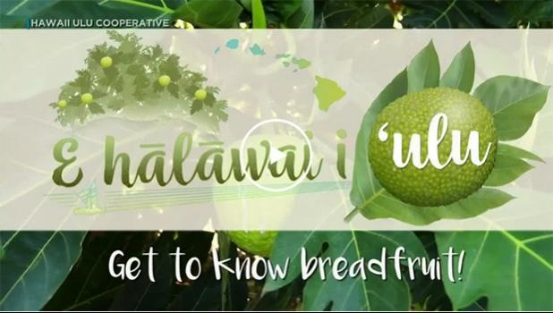 Breadfruit, get to know it.