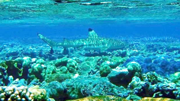 A blacktip reef shark is among fish that inhabit coral reefs off American Samoa. Bleaching events are threatening reefs, a major source of food for more than a billion people worldwide. [Credit: Zack Gold/UCLA]