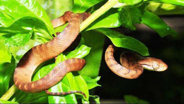 Brown tree snake in Guam