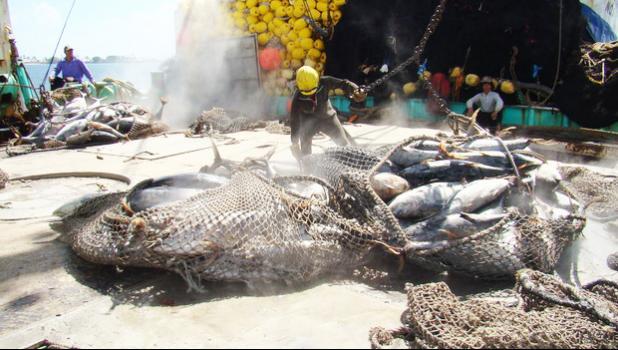 Tuna on the deck of a Pacific fishing vessel. [Photo: RNZI/Giff Johnson]