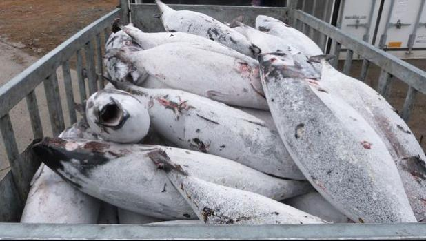 Frozen albacore tuna