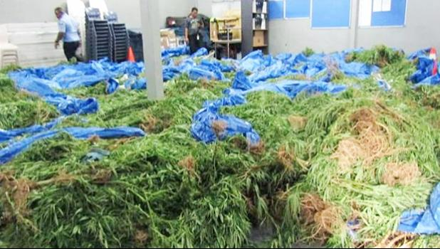 The marijuana raided from Faleatiu