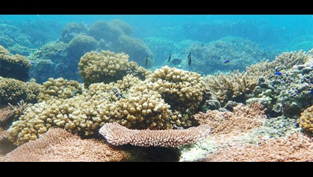 Corals in American Samoa region that survived a 2015 bleaching event.