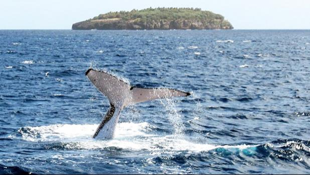 A whale diving off an island in Tonga