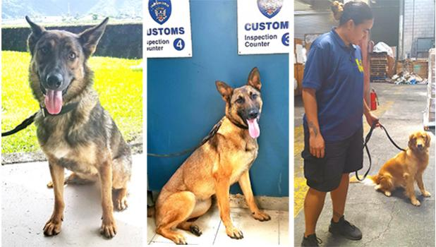 """Smugglers beware! Treasury Department's Customs Division has a new trio of """"super sniffers"""" on the prowl. The four-legged agents are the newest members of the Customs K9 unit, which monitors the territory's points of entry. Prior to the trio's arrival last month, Customs only had a set of 4 drug-sniffing dogs. But now they have Kely, specializing in sniffing out firearms; Kinga, trained to detect explosives; and Ruca, a golden retriever trained to sniff out illegal drugs. [photo: Blue Chen-Fruean]"""