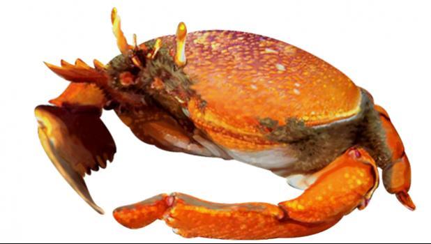 Kona crab drawing.