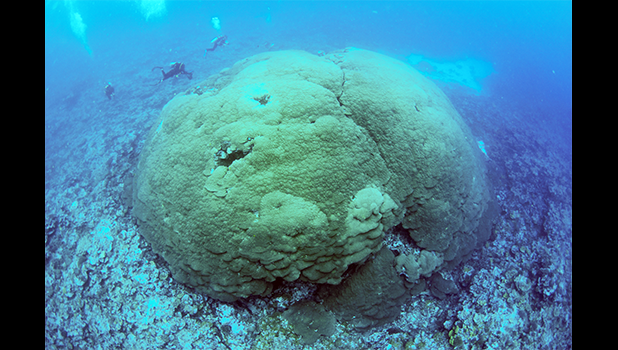 The newly identified and measured Porites sp. colony