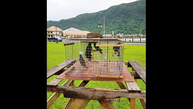 Myna birds inside trap located on the Fagatogo Malae, in front of the DPS Central Station