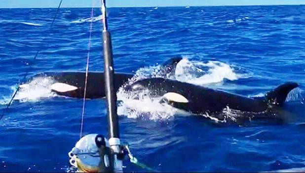 Orca off the coast of Savai'i, Samoa.