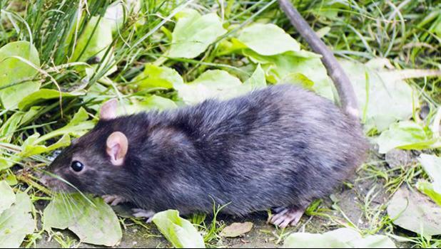 Photo of rat