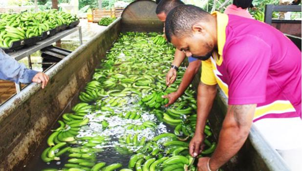 Processing bananas for export in Samoa