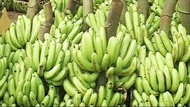 Stalks of bananas