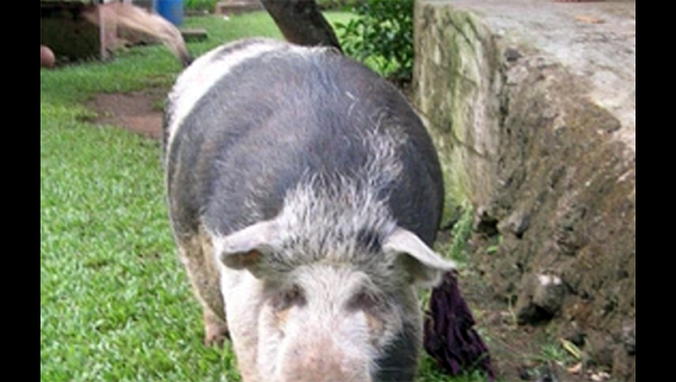 Typical family pigs foraging around the home
