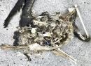 In this Oct. 22, 2019, photo, plastic sits in the decomposed carcass of a seabird on Midway Atoll
