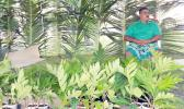 In this Samoa News file photo, breadfruit starts were available at a Farm Fair in American Samoa. [SN file photo]