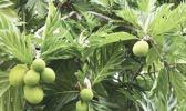Breadfruit [hoto: Jim Wiseman]