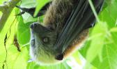 Samoan fruit bat