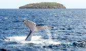 A humpback whale diving near an island of Vava'u