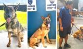 "Smugglers beware! Treasury Department's Customs Division has a new trio of ""super sniffers"" on the prowl. The four-legged agents are the newest members of the Customs K9 unit, which monitors the territory's points of entry. Prior to the trio's arrival last month, Customs only had a set of 4 drug-sniffing dogs. But now they have Kely, specializing in sniffing out firearms; Kinga, trained to detect explosives; and Ruca, a golden retriever trained to sniff out illegal drugs. [photo: Blue Chen-Fruean]"