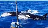 Orca off the coast of Savai'i, Samoa.
