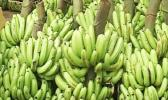 Stalks of bananas