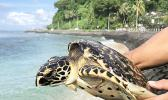 Juvenile Hawksbill Turtle that was rescued from the FAD device.