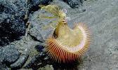 This venus fly trap sea anemone